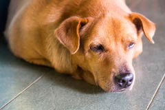 Closeup and selective focus on dog head resting on floor Royalty Free Stock Photography