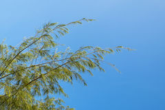 Closeup and selective focus image of casuarina plant leaves Royalty Free Stock Photo