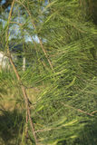 Closeup and selective focus image of casuarina plant leaves over Royalty Free Stock Photo