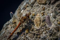 Dragonfly, Moustached Darter, Sympetrum vulgatum, resting on a Rock. Closeup with selective focus , rock in background Stock Image