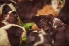 Closeup, selective focus on white, red brown guinea pigs eating morning green glory vegetable pet food. The domestic guinea pig. Also known as domestic cavy or Stock Photography