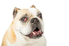 Closeup Of Senior Bulldog Stock Photo