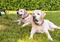 Closeup of senior Labrador Retriever. royalty free stock photos