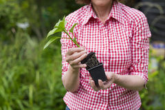 Closeup of senior woman holding a plant in pot Royalty Free Stock Photo