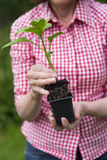 Closeup of senior woman holding a plant in pot Royalty Free Stock Images