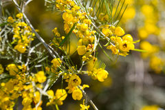 Closeup of  Senna artemisioides plant Stock Photo