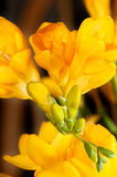 Closeup of sensual freesia flowers and buds. Beautiful deep orange yellow freesias.  Showing flowers and buds Stock Photography