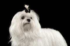 Closeup Serious White Maltese Dog Looking in Camera isolated Black. Closeup Portrait of Serious White Maltese Dog with tie Looking in Camera isolated on Black Stock Photo