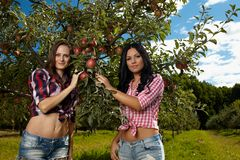 Closeup of sexy women picking apples Stock Photography