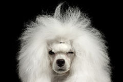 Closeup Shaggy Poodle Dog Squinting Looking in camera, isolerad svart arkivfoton