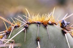Detail of cactus needles. Closeup of the sharp thorns of a desert cactus. The patterns of detail are visible in this succulent plant stock photo