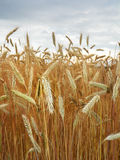 A closeup of sheaf stalks of malting barley field ready for harvest. Stock Images