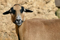 Closeup sheep of Cameroon Stock Images