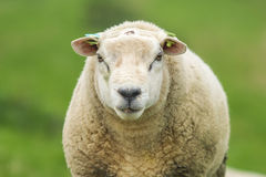Closeup of a sheep. With a green background Stock Photography