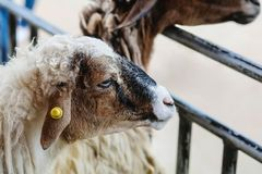Closeup sheep wait for food from tourist in farm background stock photos