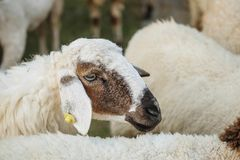 Closeup sheep wait for food from tourist in farm background. Closeup sheep wait for food from tourist in the farm background royalty free stock photos
