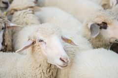 Closeup sheep wait for food from tourist in farm background stock photo