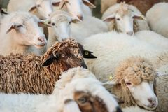 Closeup sheep wait for food from tourist in farm background. Closeup sheep wait for food from tourist in sheep farm background stock photography