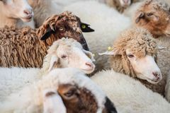 Closeup sheep wait for food from tourist in farm background. Closeup sheep waiting for food from tourist in farm background royalty free stock images
