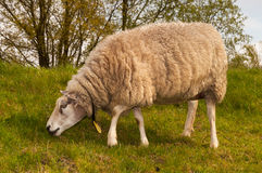 Closeup of a sheep in winter coat Stock Photo