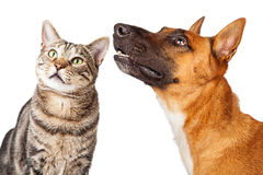 Closeup Shepherd Dog and Cat Looking Side Royalty Free Stock Image