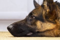 Profile view of shepherd dog`s head. Closeup of a shepherd dog head lying on the carpet indoors profile view Royalty Free Stock Photography