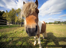 Closeup of Shetland Pony in a paddock royalty free stock photography