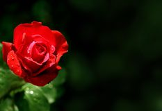 Closeup on a shining red rose. On dark background stock image