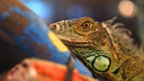 Closeup shoot of colorful lizardface with skin texture detail stock images