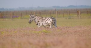 Closeup shoot of couple of playful funny zebras walking in the field in the nature in the national park.  stock video