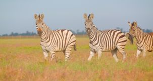 Closeup shoot of group of beautiful zebras walking in the field in the nature in the naional park.  stock footage