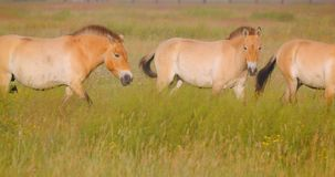 Closeup shoot of many horses walking in the field in the national park stock footage