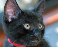 Closeup of Short-haired Black Kitten. Portrait of an eight-week-old Domestic Short-Haired black kitten with a red collar looking to camera right against a Stock Photo