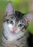 Closeup of Short-Haired Brown Tabby Kitten with White Chin royalty free stock photos