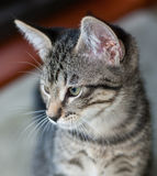 Closeup of Short-Haired Grey Tabby Kitten. Closeup of a short-haired gray tabby kitten  looking to camera left Royalty Free Stock Photography