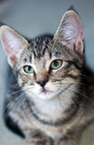 Closeup of a Short-Haired Grey Tabby Kitten. Closeup of a short-haired gray tabby kitten looking to camera left crouching isolated against a green background Royalty Free Stock Photography