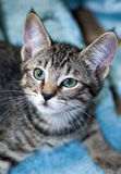 Closeup of a Short-Haired Grey Tabby Kitten Stock Photography
