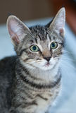 Closeup of a Short-Haired Grey Tabby Kitten. Closeup of a short-haired gray tabby kitten looking to camera right Stock Images