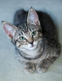 Closeup of a Short-Haired Grey Tabby Kitten Royalty Free Stock Photo