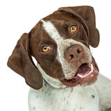 Closeup Shorthaired Pointer breed dog tilting head. Portrait of Shorthaired Pointer breed dog tilting head and looking into camera stock photo