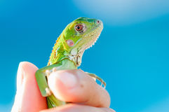 Closeup Shot of a Baby Iguana Being Held by a Human Hand Stock Photo