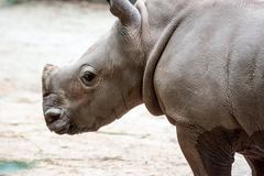 A closeup shot of a baby white rhinoceros or square-lipped rhino. Ceratotherium simum while playing in a park in singapore. Nature photo with wildlife royalty free stock photos