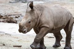 A closeup shot of a baby white rhinoceros or square-lipped rhino. Ceratotherium simum while playing in a park in singapore. Nature photo with wildlife stock photos