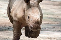 A closeup shot of a baby white rhinoceros or square-lipped rhino. Ceratotherium simum while playing in a park in singapore. Nature photo with wildlife royalty free stock photography