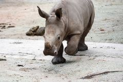 A closeup shot of a baby white rhinoceros or square-lipped rhino. Ceratotherium simum while playing in a park in singapore. Nature photo with wildlife stock photo