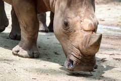 A closeup shot of a baby white rhinoceros or square-lipped rhino. Ceratotherium simum while playing in a park in singapore. Nature photo with wildlife royalty free stock photo