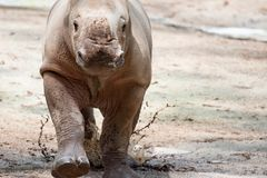 A closeup shot of a baby white rhinoceros or square-lipped rhino. Ceratotherium simum while playing in a park in singapore. Nature photo with wildlife stock images