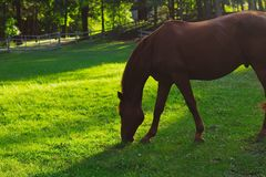Closeup shot of a beautiful horse eating grass with blurred natural background stock photo