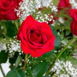 Beautiful Red Rose Rosaceae Rosoideae Rosa Arranged with White Baby`s Breath. Closeup Shot of Beautiful Red Rose Rosaceae Rosoideae Rosa Arranged with White Baby Royalty Free Stock Image