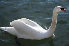 Closeup shot from a beautiful white swan when swimming in crysta Royalty Free Stock Photos